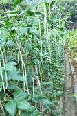 Long beans — Stock Photo