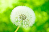 Withe downy dandelion on green — Stock Photo