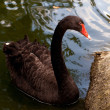Black swan — Stock Photo #6055497