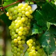 Green grape — Stock Photo #5386360