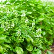 Green basil — Stock Photo #5386926