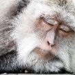 Sleeping monkey - Stock Photo