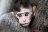 Baby macaque — Stockfoto