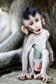 Cute baby macaque — Stock Photo