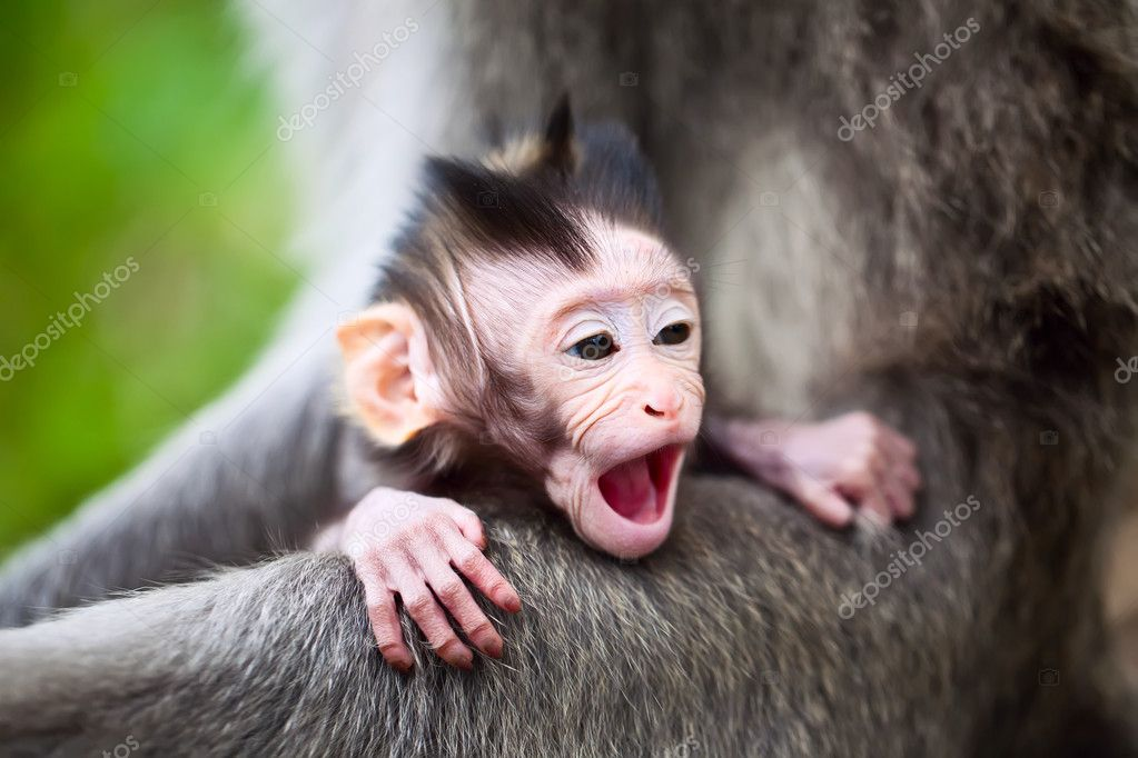 Cute yawning baby macaque monkey  Stock Photo #5889877