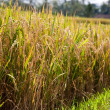 Rice field - Photo