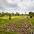Green rice field - Foto Stock