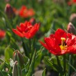 Tulips in a flowerbed in a park sunny spring morning — Stock Photo