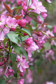 Flowering branches of trees with pink flowers — 图库照片