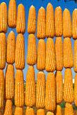 Corn in row — Stock Photo