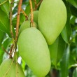 A Green mango tree — Stock Photo #5937741