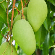 Green mango tree — Stock Photo #5937741
