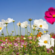 Blooming Cosmos flower garden — Stock Photo #5937778