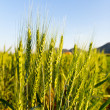 Green barley field on a sunny day — Stock Photo