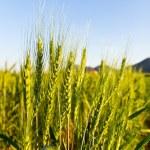 Green barley field on a sunny day — Stock Photo #5938075