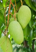 A Green mango tree — Stock Photo