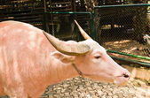 An albino water buffalo — Foto Stock
