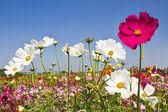 Blooming Cosmos flower garden — Stock Photo