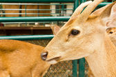 Deer head close-up — Stock Photo