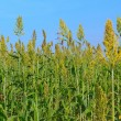 Millet field — Stock Photo #6059908