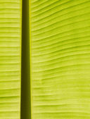 Back lit fresh green banana leaf — Stock Photo