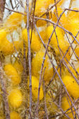 Silk worms nest — Stock Photo