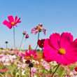 Cosmos flowers blooming garden — Stock Photo