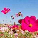 Cosmos flowers blooming garden — Stock Photo