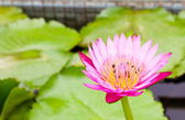 Bees on Water lily — Stock Photo
