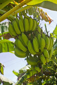 Green young bananas — Stock Photo
