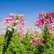 Pink flowers garden 1 — Stock Photo