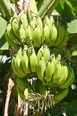 Banana verde jovem — Fotografia Stock