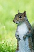 Eastern Gray Squirrel, Sciurus carolinensis, portrait — Stock Photo