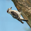 Downy Woodpecker, Eudocimus albus — Stock Photo