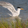Stock Photo: Royal Tern taking bath