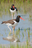 American Oystercatcher in blue water — Stok fotoğraf