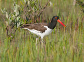 American Oystercatcher in green marsh grass — Stock Photo