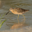 Red Knot in breeding plumage — Stock Photo