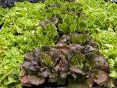 Expanse of lettuce in the garden — Stock Photo