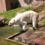 Eisbär — Stock Photo