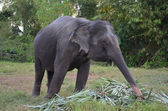 Elefant (Thailand) — Stock Photo