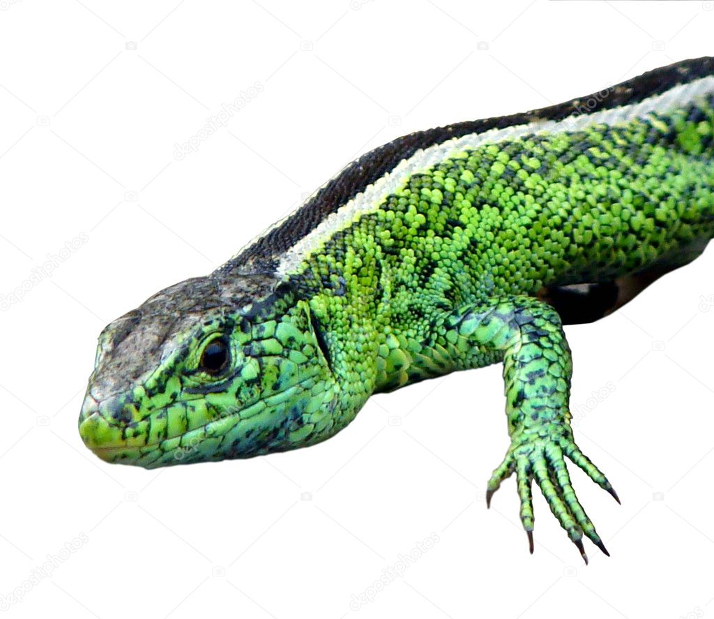 little green lizards stock photo vlado 5849178. Black Bedroom Furniture Sets. Home Design Ideas