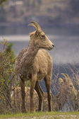 Portrait of wild bighorn sheep in spring in Kelowna — Stock Photo
