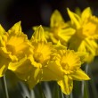 A trio of daffodils in sunlight - Stock Photo