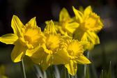 Een trio van narcissen in zonlicht — Stockfoto