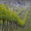 Spring vines being watered - Stock Photo