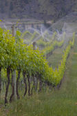 Spring vines being watered — Stock Photo