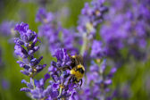 Honey bee and Lavender — Stock Photo