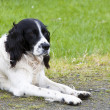 English Springer Spaniel — Stock Photo