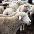 Stock Photo: Sheep heard